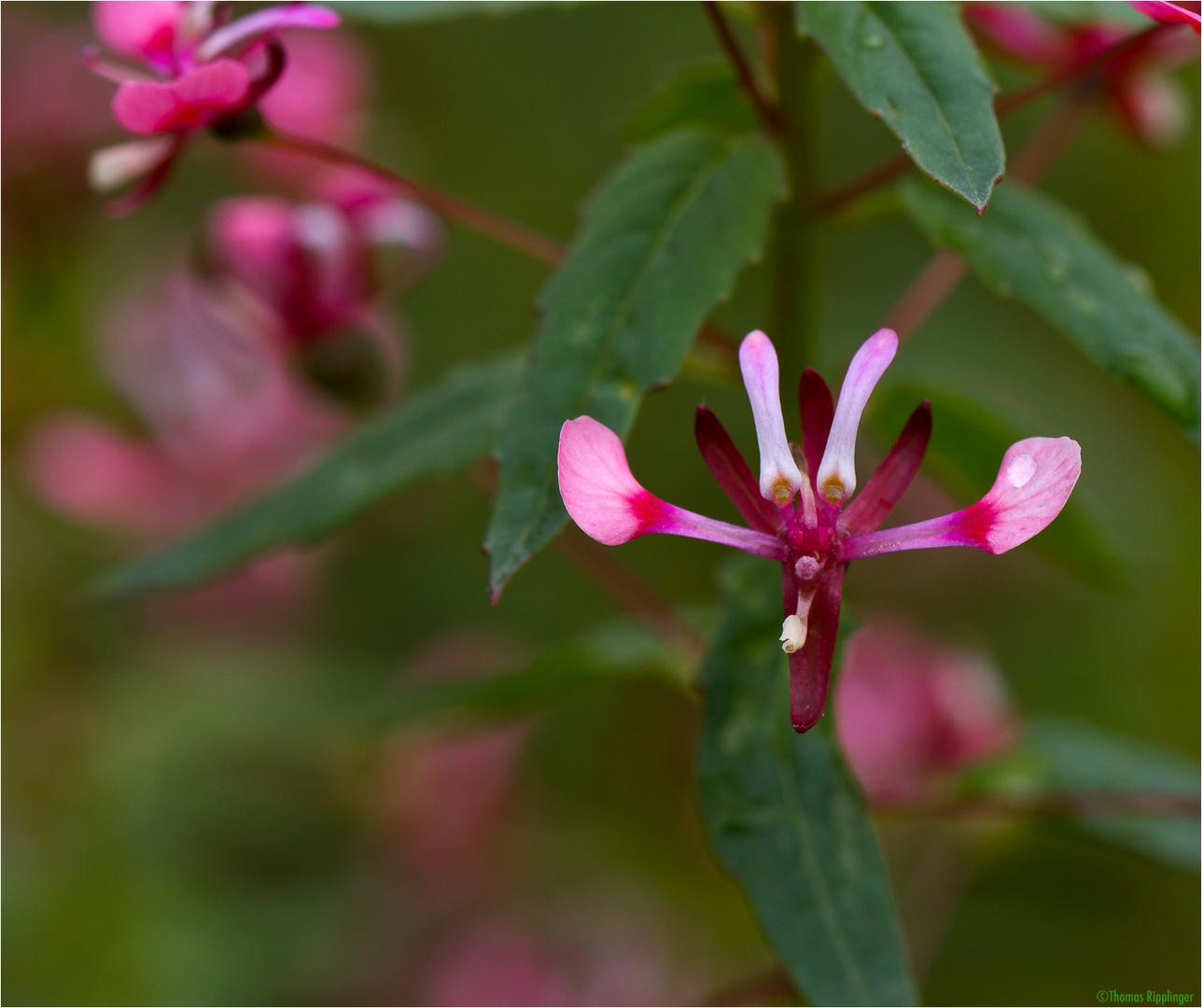 Mexikanische Lopezie (Lopezia racemosa)