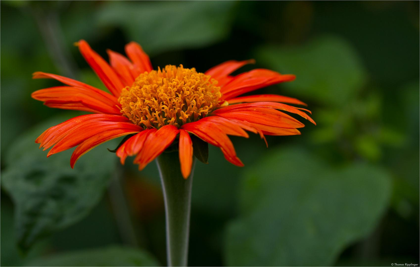 Mexikanische Sonnenblume (Tithonia diversifolia)