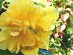 Mi Bella Cayena Amarilla