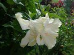 Mi Bella Cayena Blanca