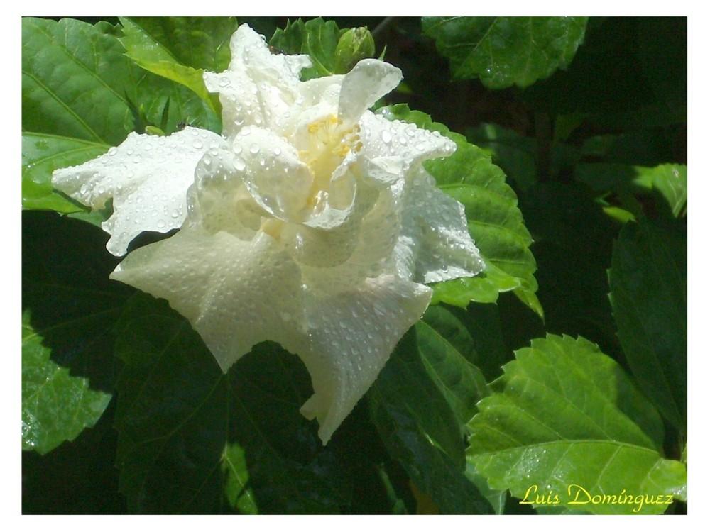 Mi Cayena Blanca