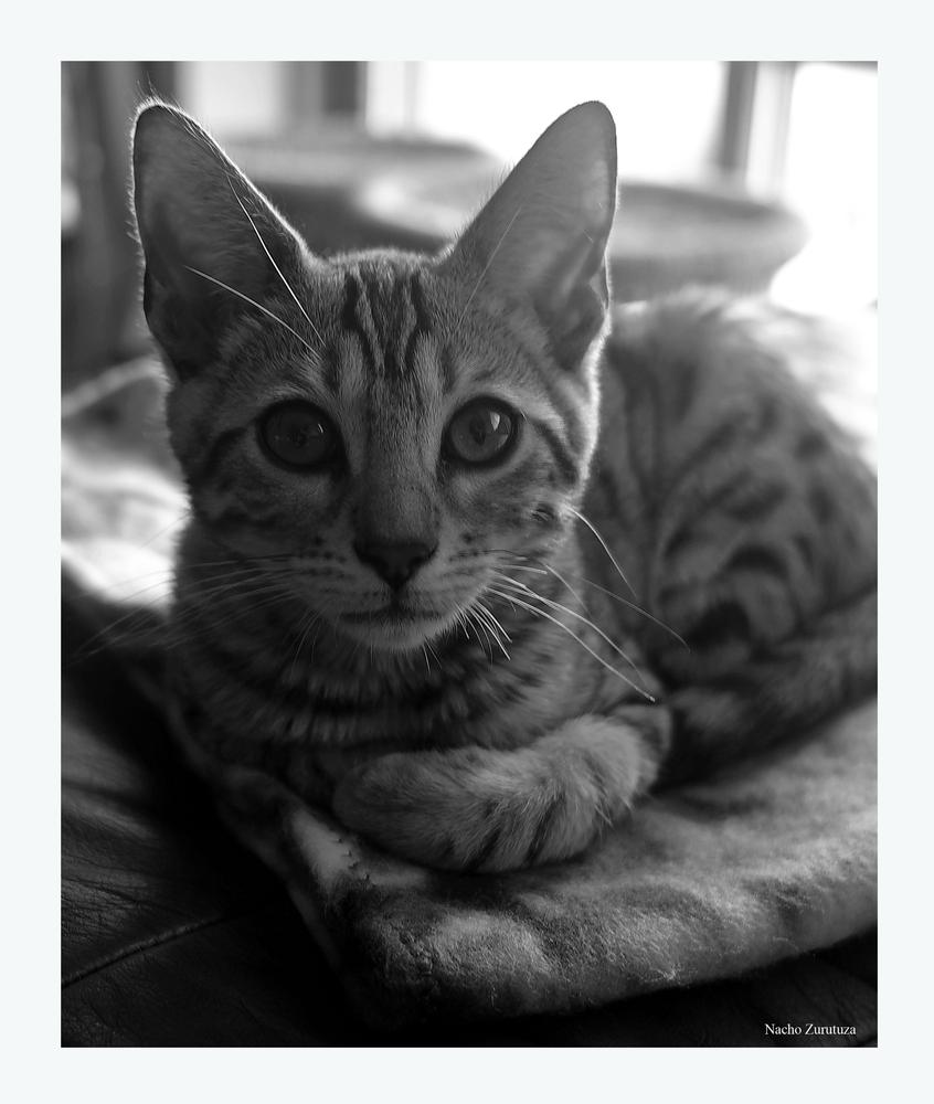 Mi gato bengalí 2