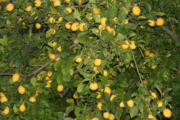 Mi limonero