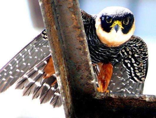 Mi vecino, el halcon