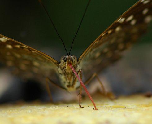 Miam! Papillonidae d'Indonésie