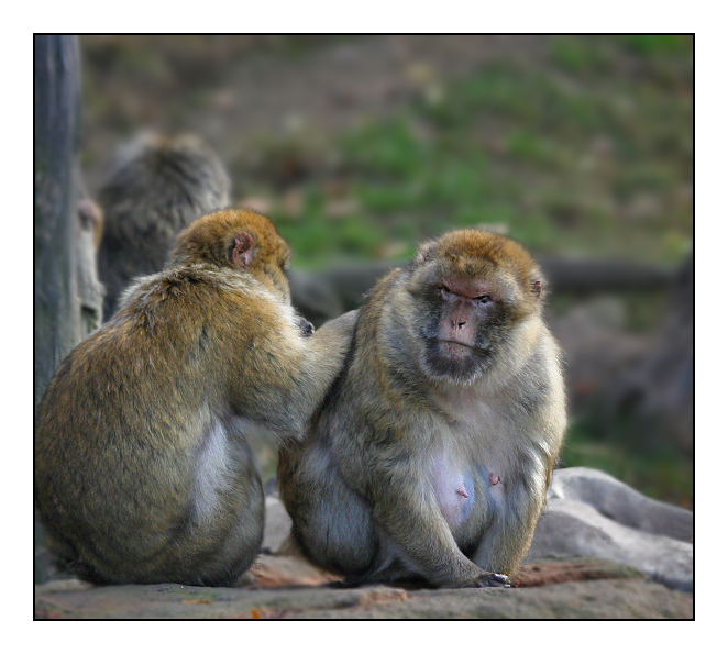 mich laust der Affe......