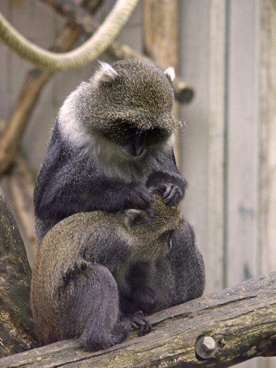 Mich laust der Affe