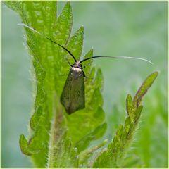 Microlépidoptère Adela reaumurella