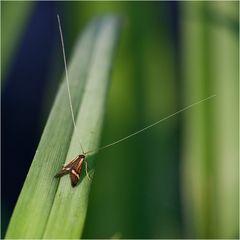 Microlépidoptère, Nemophora degeerella (2)