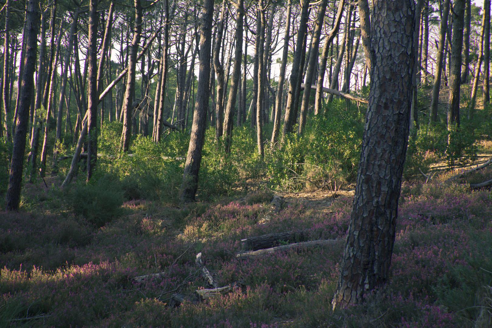 Mienenstrand - Wald