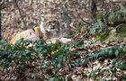 ... miez, miez, miez Luchs (Lynx lynx)