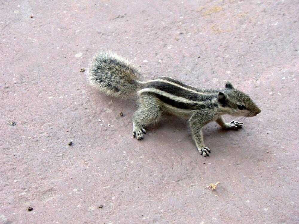mignon écureuil