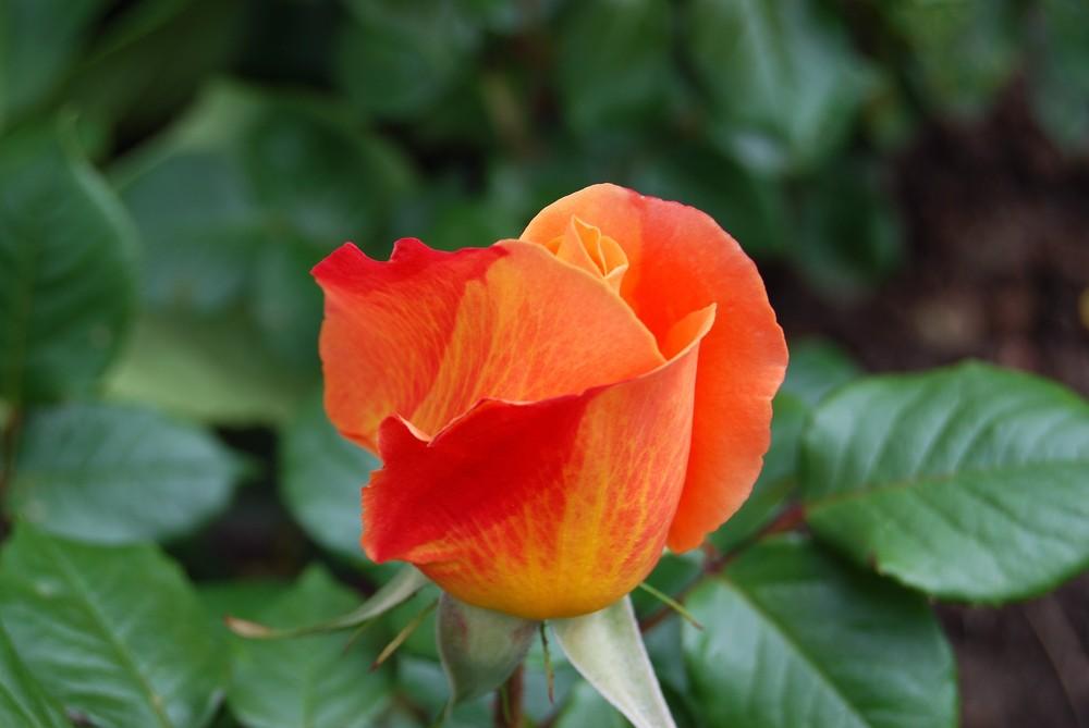 mignone,allons voir si la rose qui ce matin......