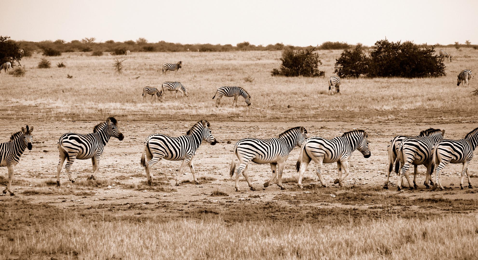 Migration der Zebras
