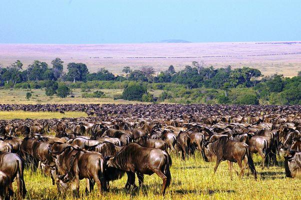 Migration des gnous au Masai Mara