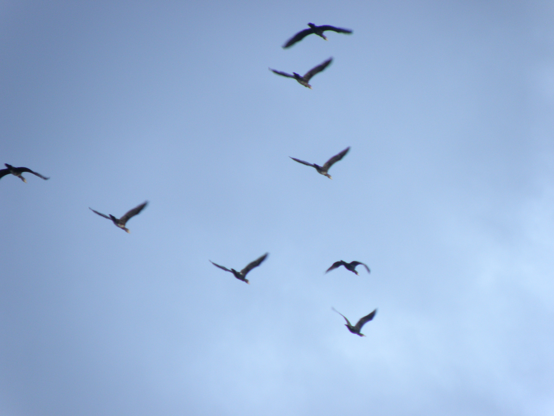 Migration d'oies