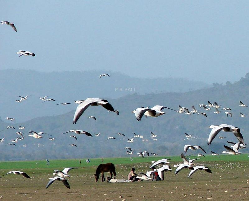 Migratory birds in Pongdam