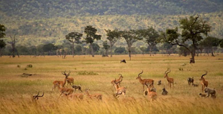 Mikumi Nationalpark, Impalas und Paviane