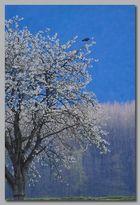 Milan noir sur arbre en fleur