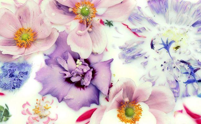 Milchblumen