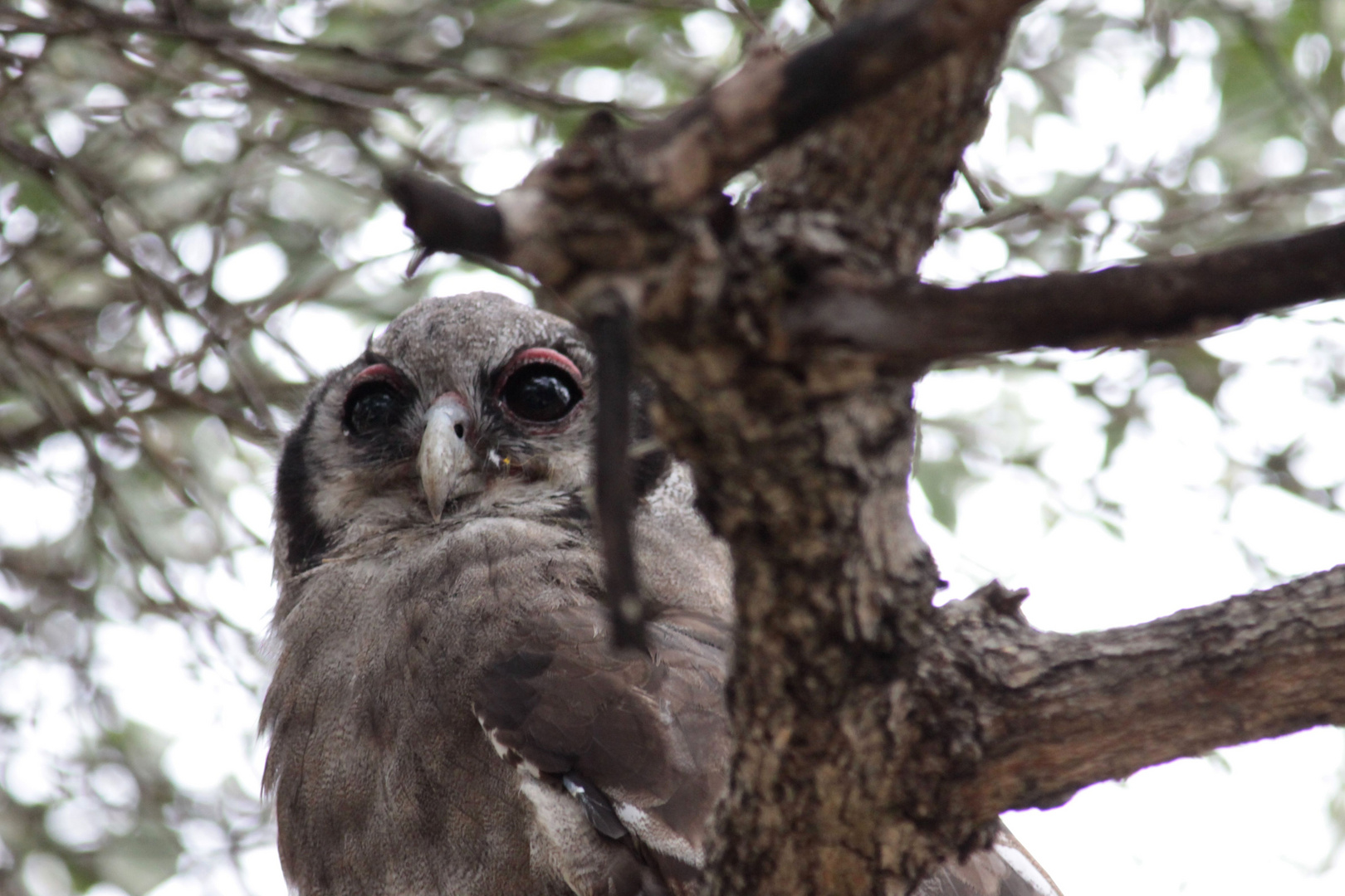 Milchuhu (Verreaux's Eagle-Owl)