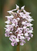 Milchweißes Knabenkraut (Orchis lactea)