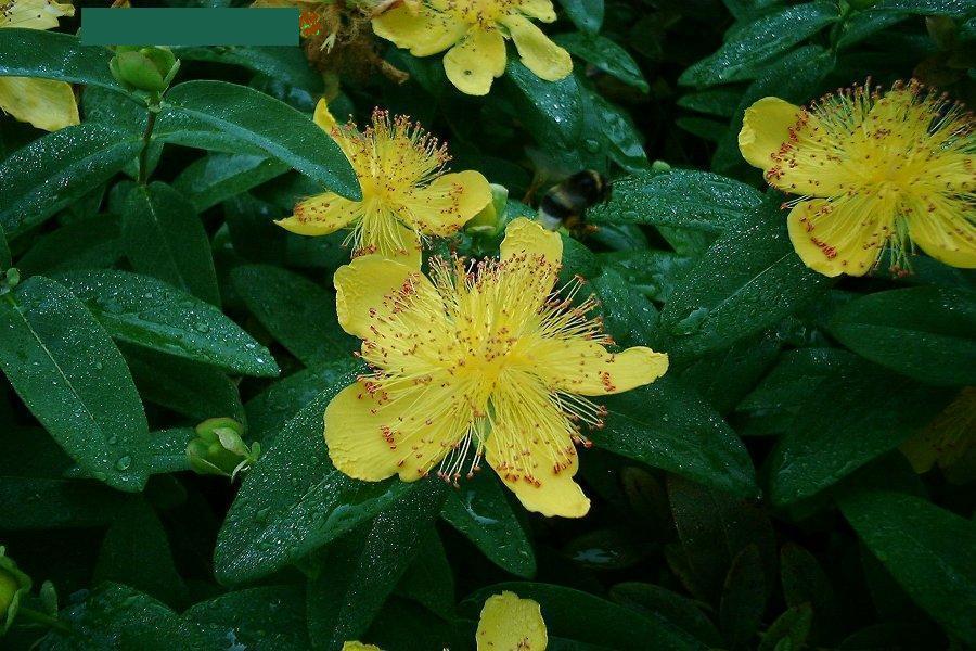 Millepertuis (Hypericum calicinum)