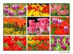 Millionen von Tulpen