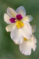 Miltonia - Stiefmütterchen-Orchideen