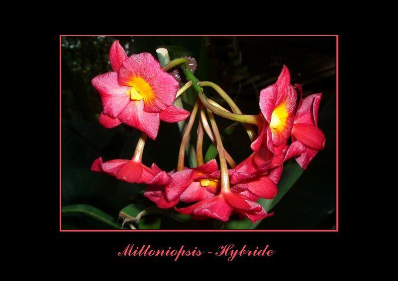 Miltoniopsis - Hybride