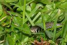mimetizar de la hierba