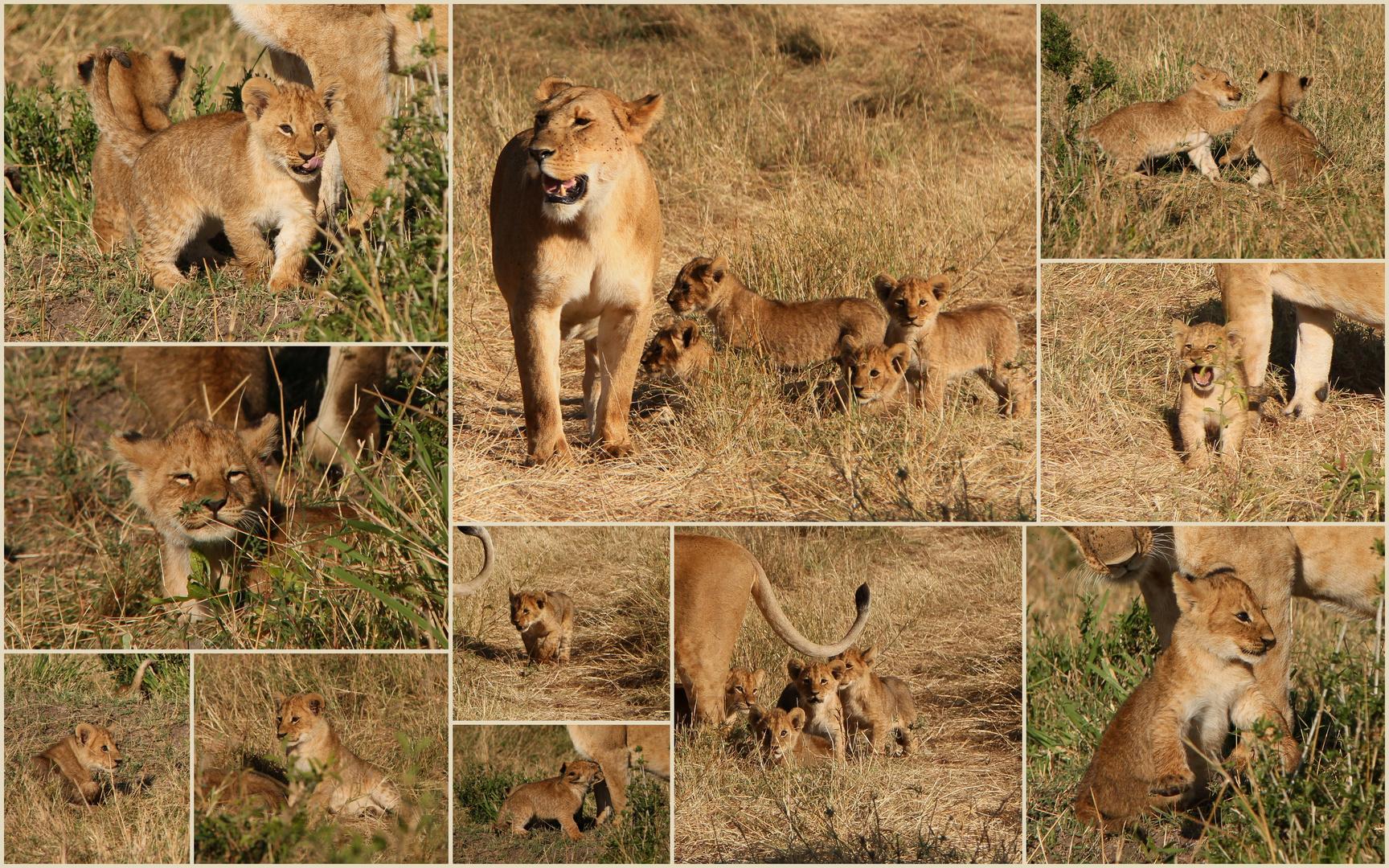 Mimik und Spielerei der Löwenbabys