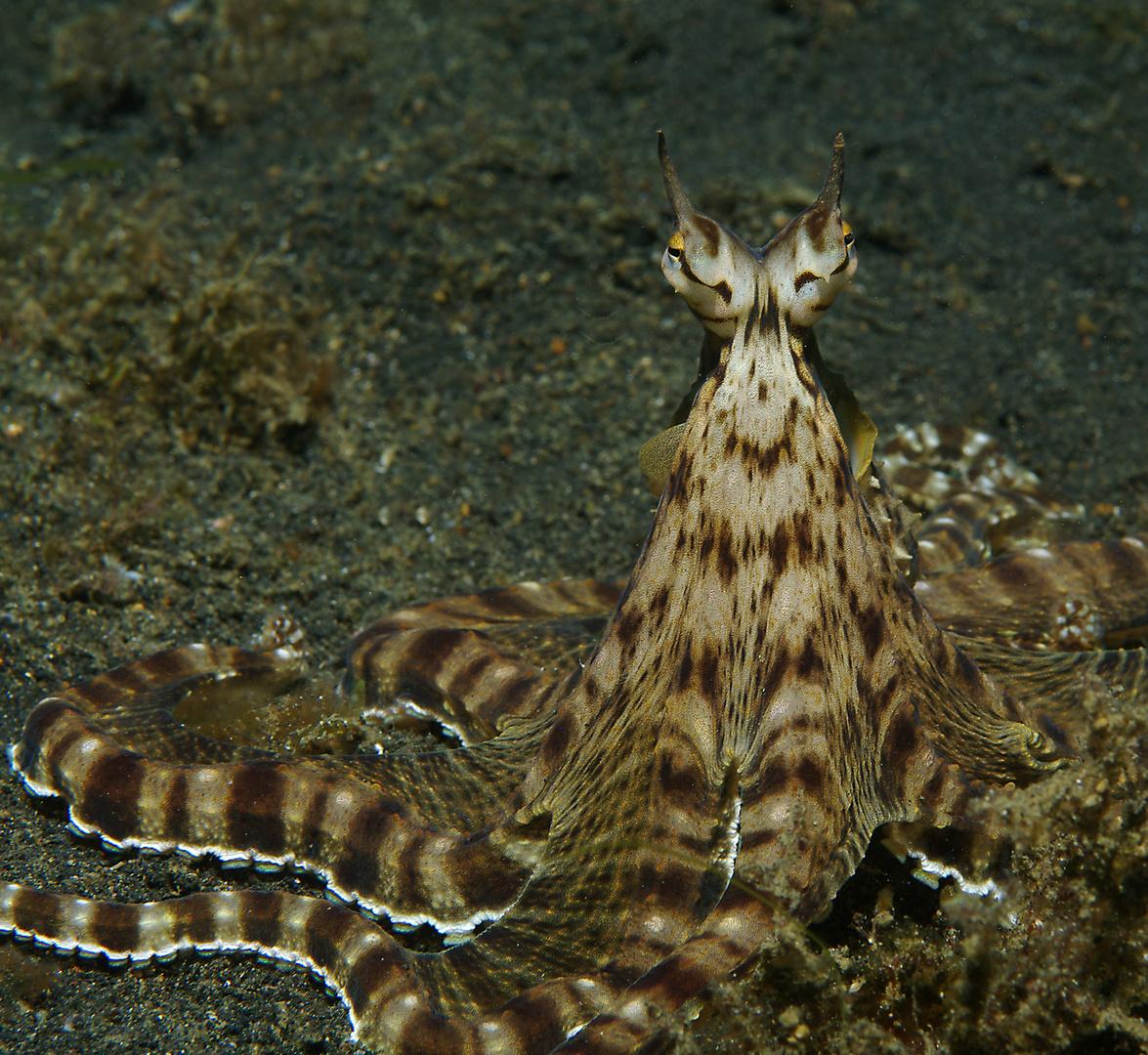Mimikry-Oktopus