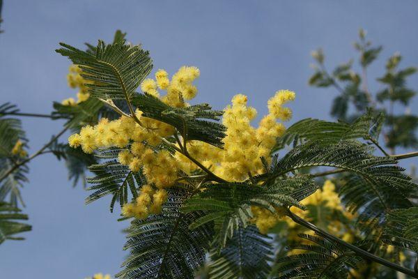 mimosa à l'Île aux Moines