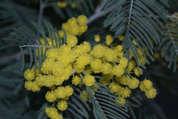 Mimosa de février