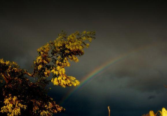 mimosa jaune et arc en ciel multicolor