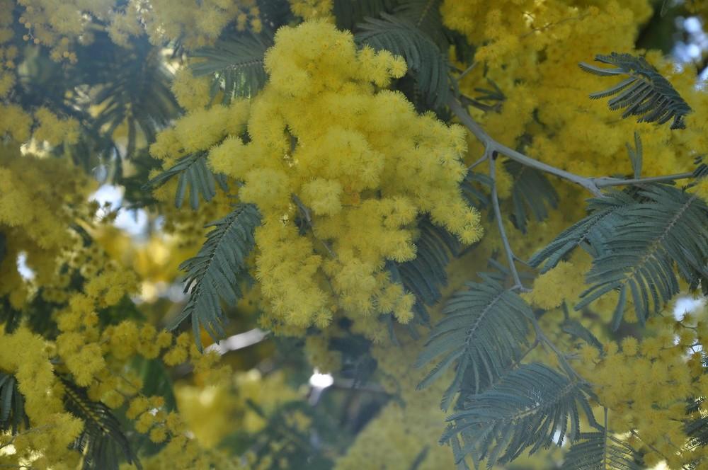 mimosas de fevrier