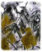 mimosas en neige.