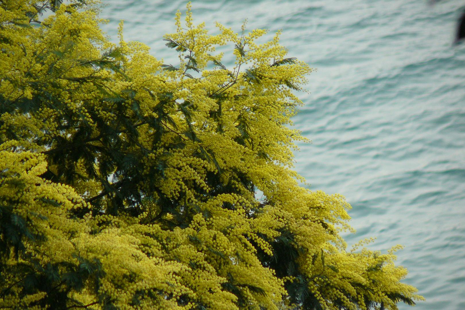 Mimosas junto al Mar...