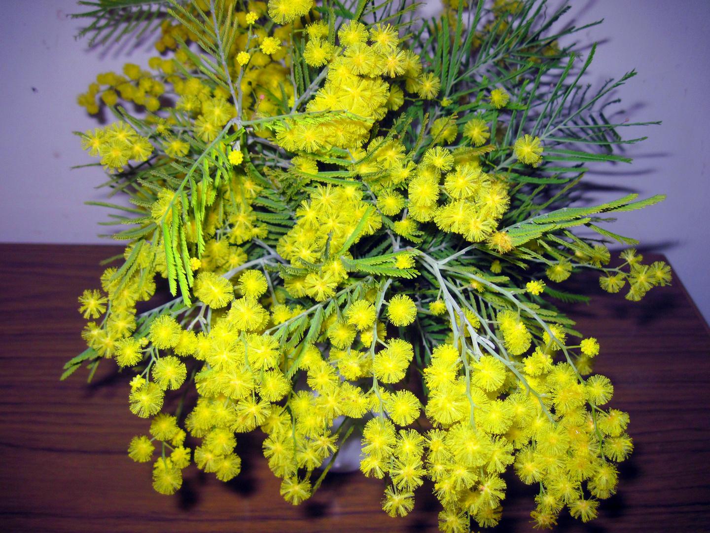 Mimose / 1