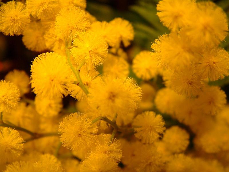 Mimosen
