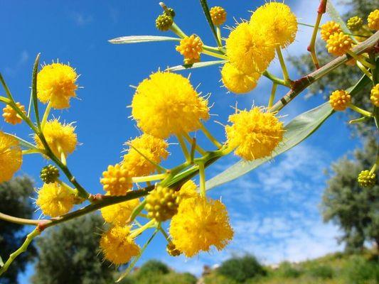 Mimosen an einem schönen Märztag in Marroko