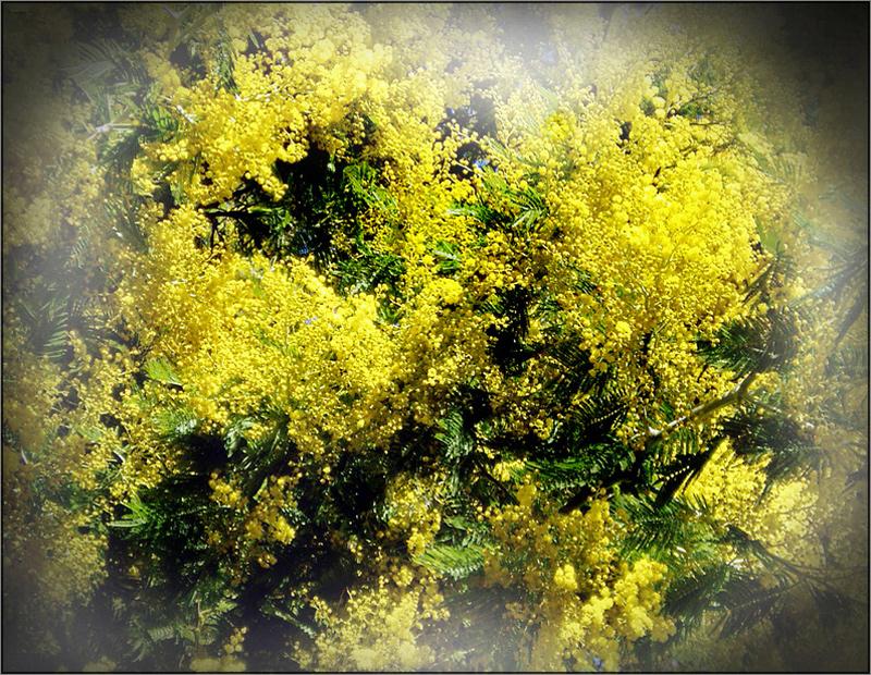 Mimosen blühn in voller Pracht