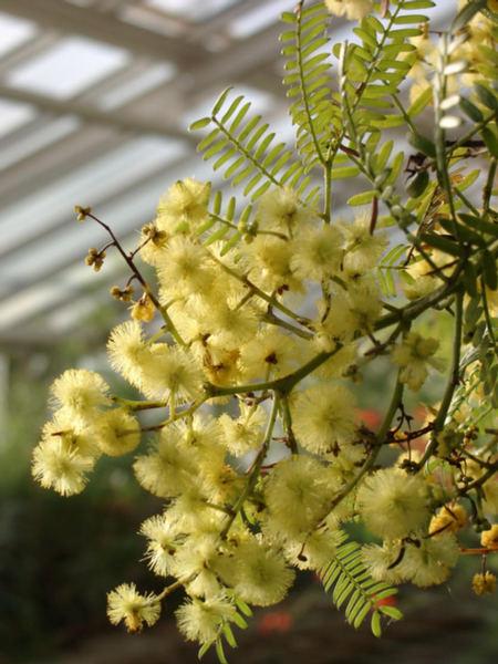 Mimosen-Blüte