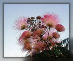 Mimosengewächs-- Regenbaum-Akazien