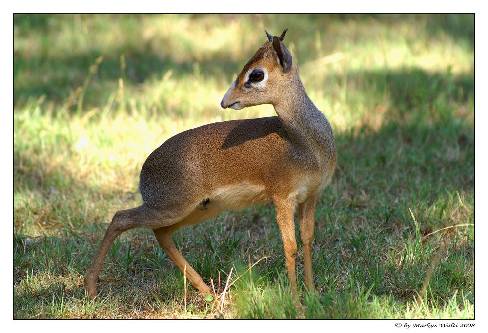 Mini-Antilope