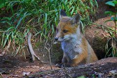Mini-Fuchs