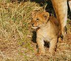 .....Mini-König der Löwen....1...in 4 Bildern.....