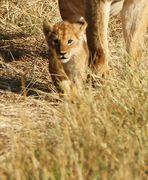.....Mini-König der Löwen...2...