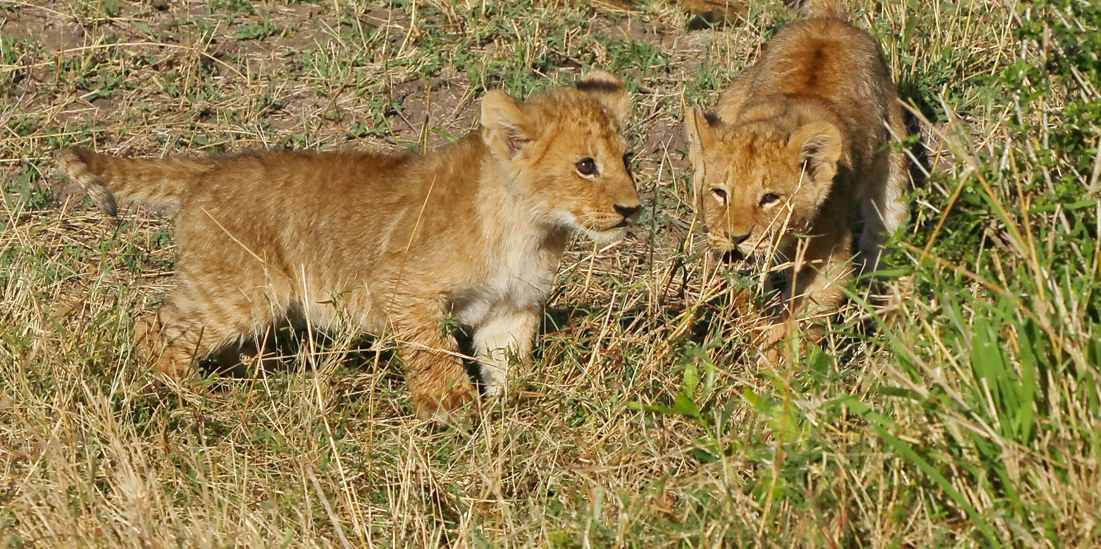 .....Mini-König der Löwen....3...